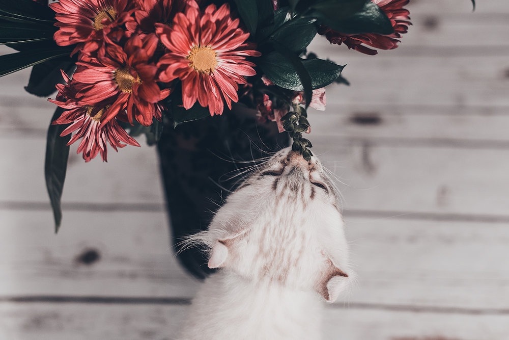 _DSC7549-castiel-highland-lynx-flowers-false-coloring-1000.jpg