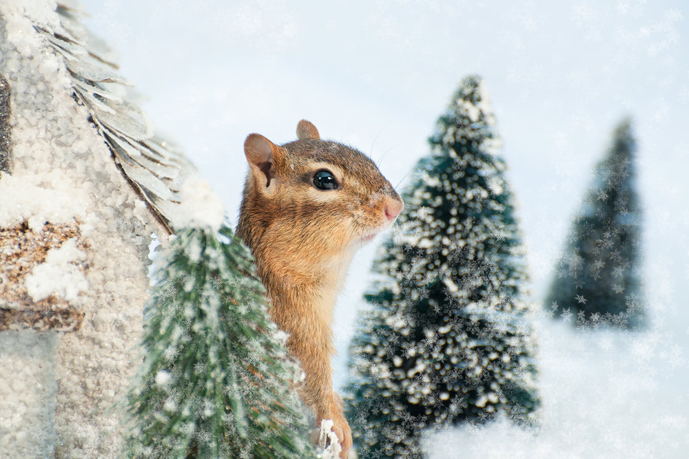 _DSC0328-christmas-chipmunk-winter-wonderland-funny-snow-cute.jpg