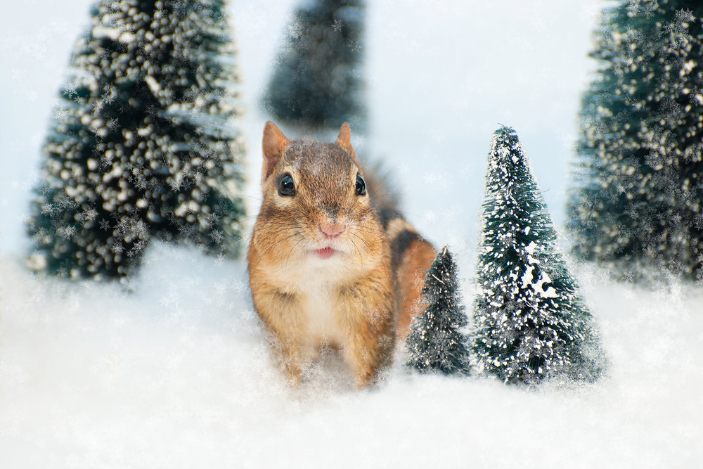 _DSC0364-christmas-chipmunk-winter-wonderland-funny-snow-cute.jpg