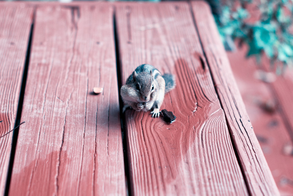 So, how do you train a chipmunk?  - So, how DO you train a chipmunk? With the right chipmunk, it is simple. Really! Just follow these steps and tips!