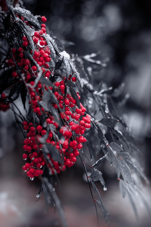 DSC_3382-winterberry-holly-snow-1000.jpg