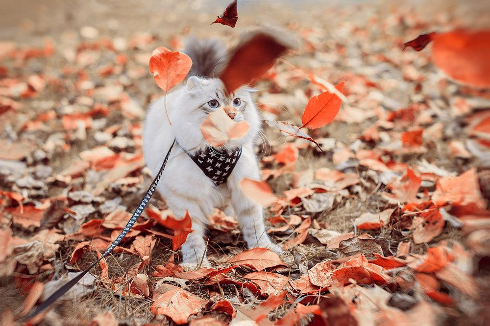 _DSC4131-autumn-orange-highland-lynx-castiel-1000.jpg
