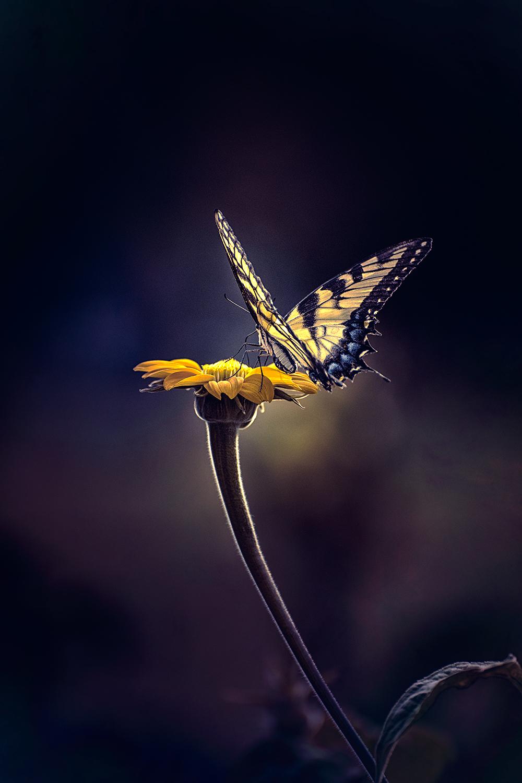 _DSC9324-butterfly-yellow-blue-1000.jpg