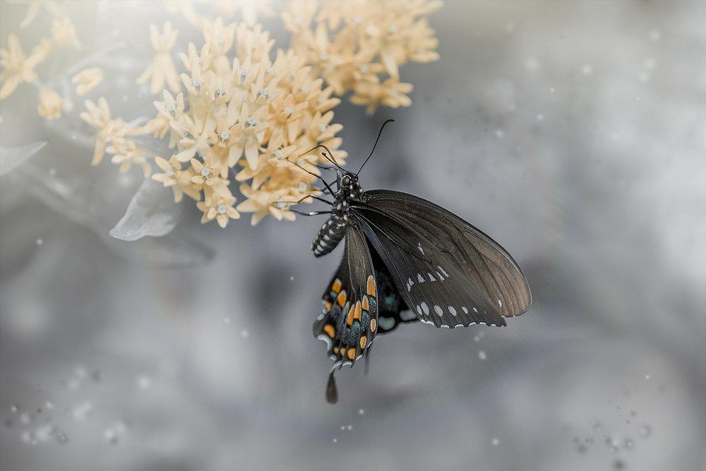 _DSC1912-black-swallowtail-1000.jpg