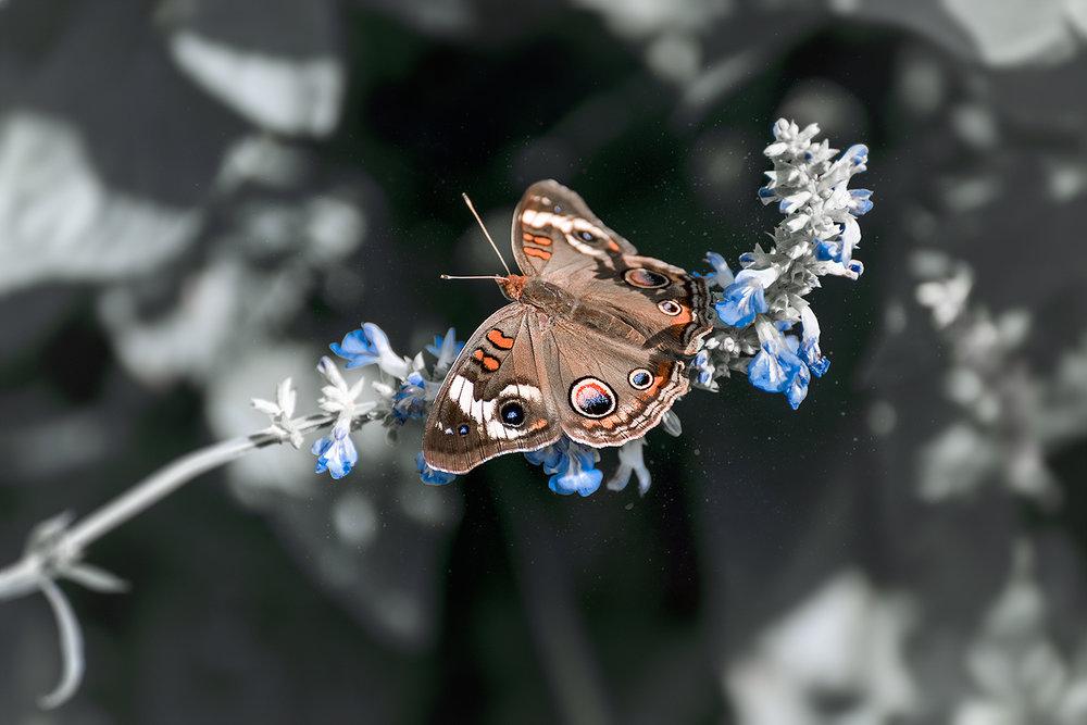 _DSC1018-buckeye-butterfly-1000.jpg