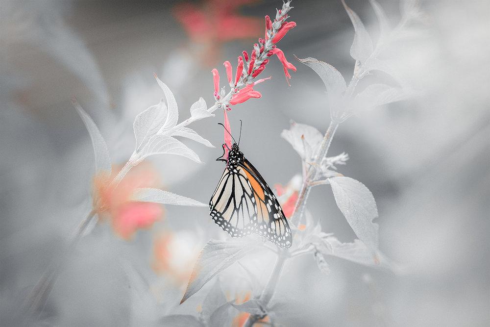 _DSC2444-monarch-butterfly-1000.jpg