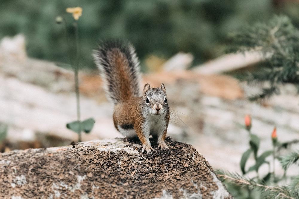 _DSC1598-red-squirrel-blue-lakes-colorado-1000.jpg