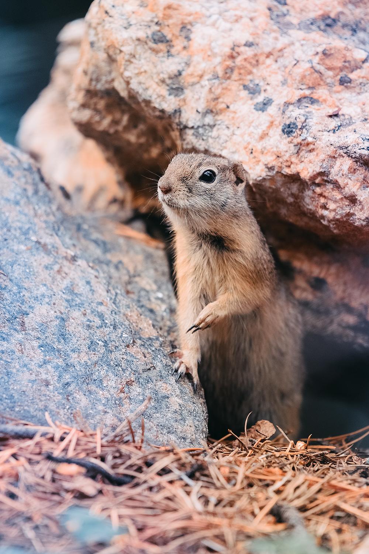 _DSC5709-Turquoise-Lake-Colorado-wyoming-ground-squirrel-1000.jpg