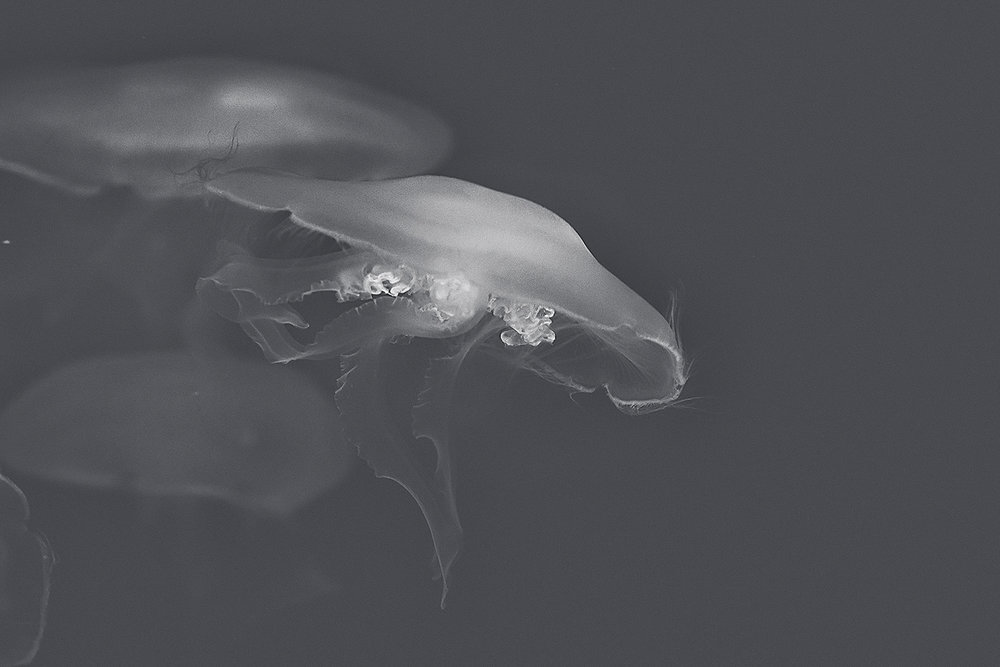 _DSC1248-baltimore-aquarium-jellyfish-matte-bw-1000.jpg
