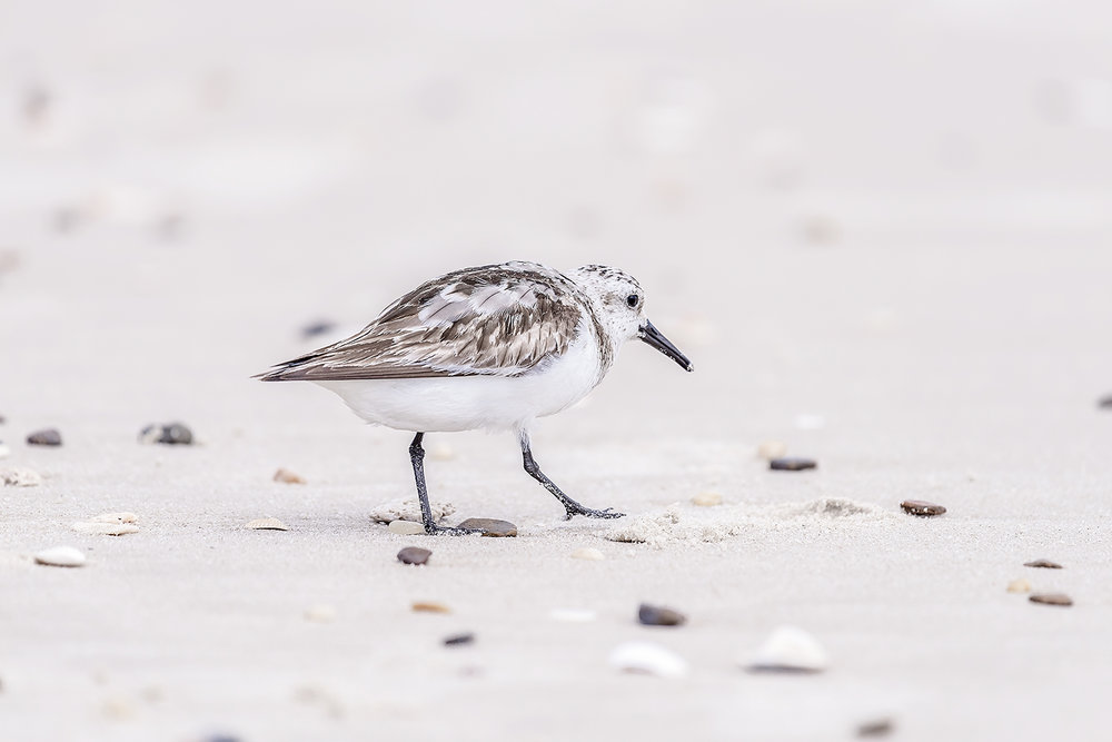 _DSC0344-assateague-island-maryland-sanderling-1000.jpg