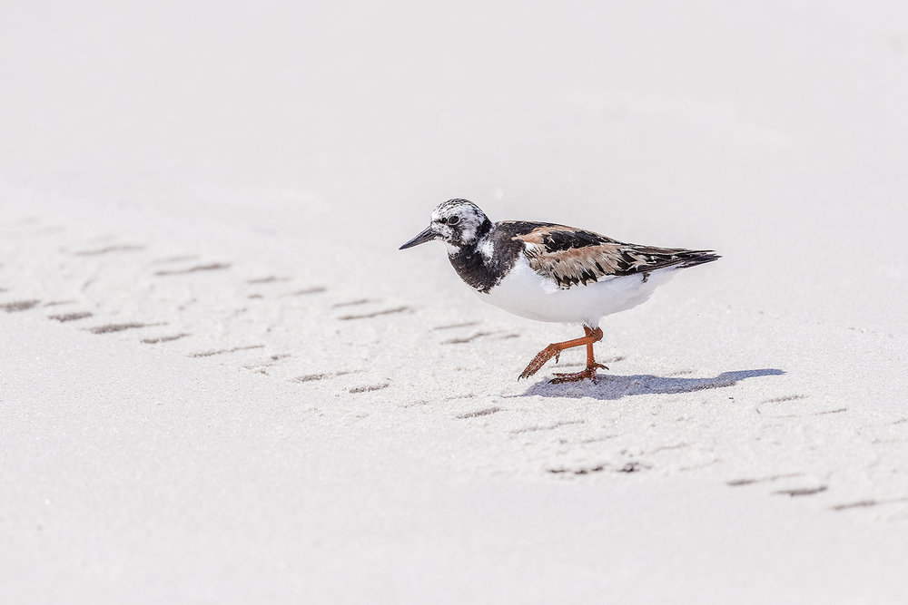 _DSC0349-assateague-island-maryland-ruddy-turnstone-1000.jpg