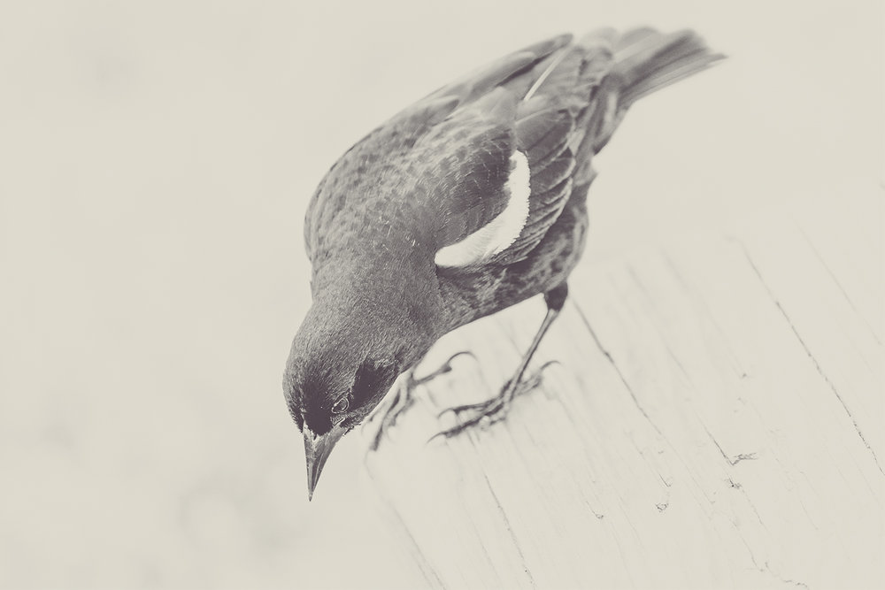 _DSC0596-sepia-red-winged-blackbird-1000.jpg