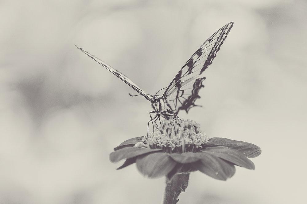 _DSC1294-sepia-estern-tiger-swallowtail-1000.jpg