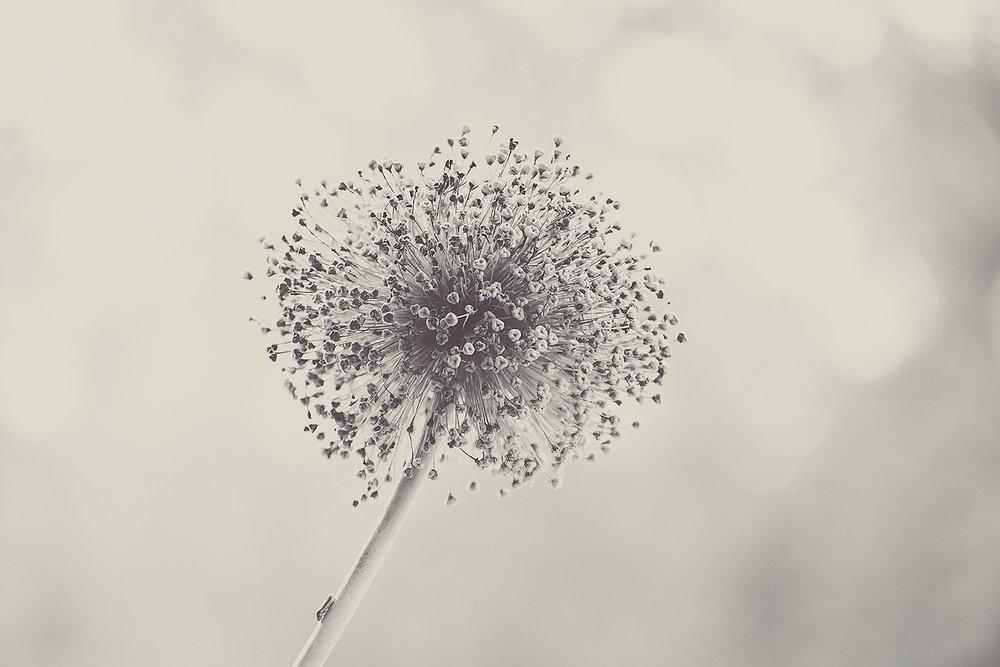 _DSC6020-allium-giganteum-sepia-1000.jpg