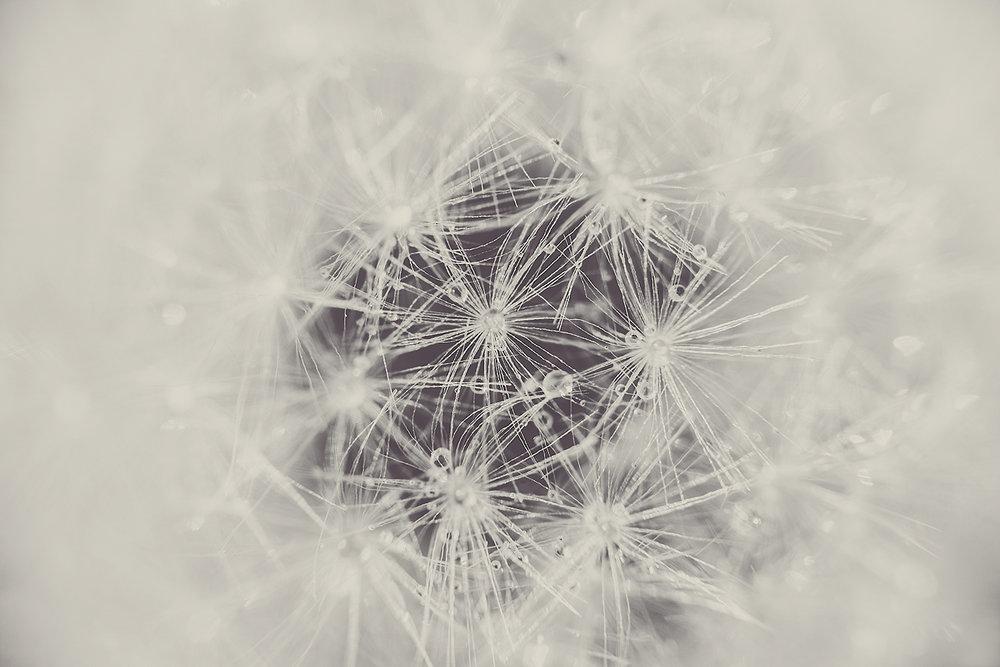 _DSC9278-sepia-dandelion-1000.jpg