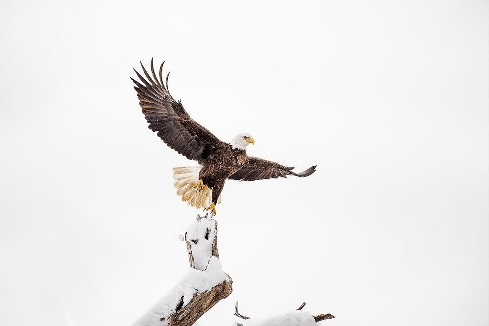 _DSC8874-bald-eagle-mason-neck-state-park-1000.jpg