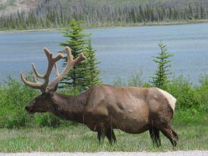 Bull Elk with new antlers.jpg