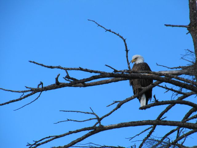 bald eagle June 11.jpg