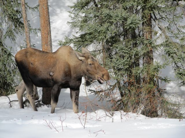 moose winter.jpg