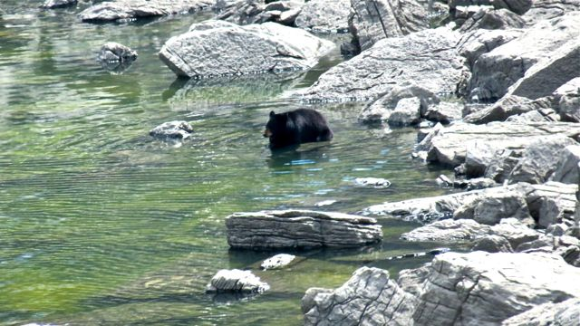 black bear cooling off in Medicine lake as the water level begins to rise.