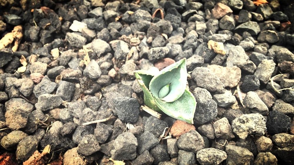 Siembra y cultivo mezcal