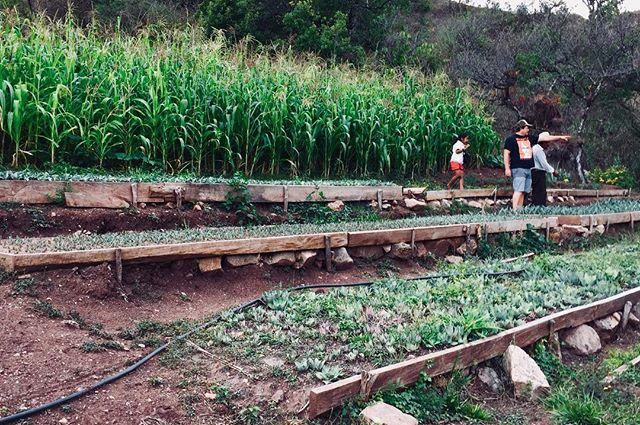 """""""Coo yuu"""" o terracita milpera con presencia de maguey. El """"coo yuu"""" o sistema de terrazas Mixteco es utilizado para contravenir la falta de tierras planas para el cultivo. Se crea formando diques que favorezcan la recuperación del suelo arrastrado por la erosión y creando así espacios planos que sirvan para cultivar o vivir. Además son muy bonitos. #mixteca #antropologia #antropologiadelacomida #mixtecaalta #maguey #mezcal #agave #campo #country #anthropology #rural #food #comida #foodforchange #slowfood #permaculture #agroecology #sustainable"""