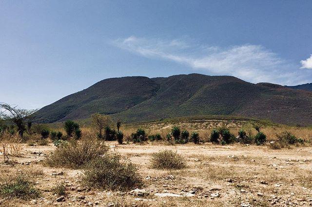 A continuación las variedades de maguey tobaziche de La Compañía, Ejutla. #biodiversidad #agave #maguey