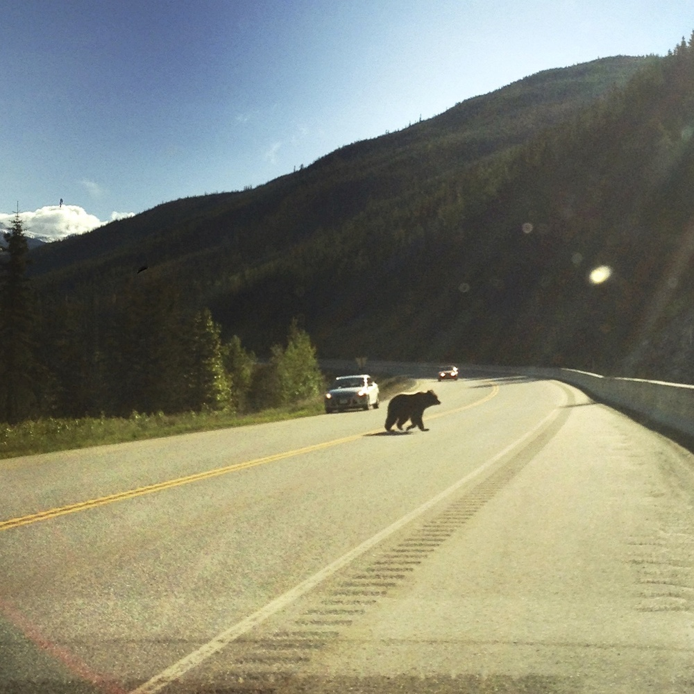 grizzly crossing