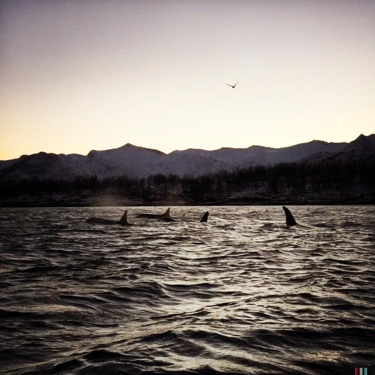 orca pod, norwegen