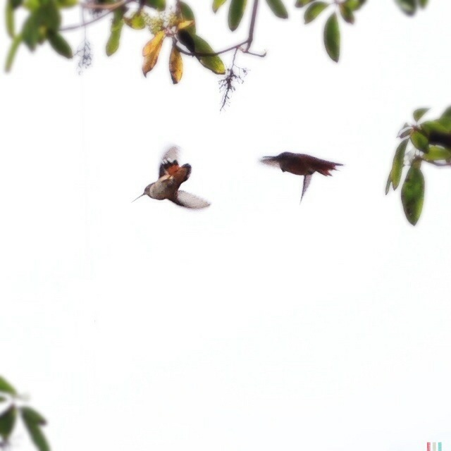 kolibris, sunshine coast