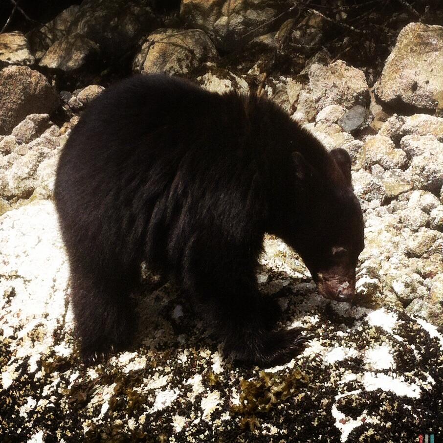 schwarzbär, vancouver island