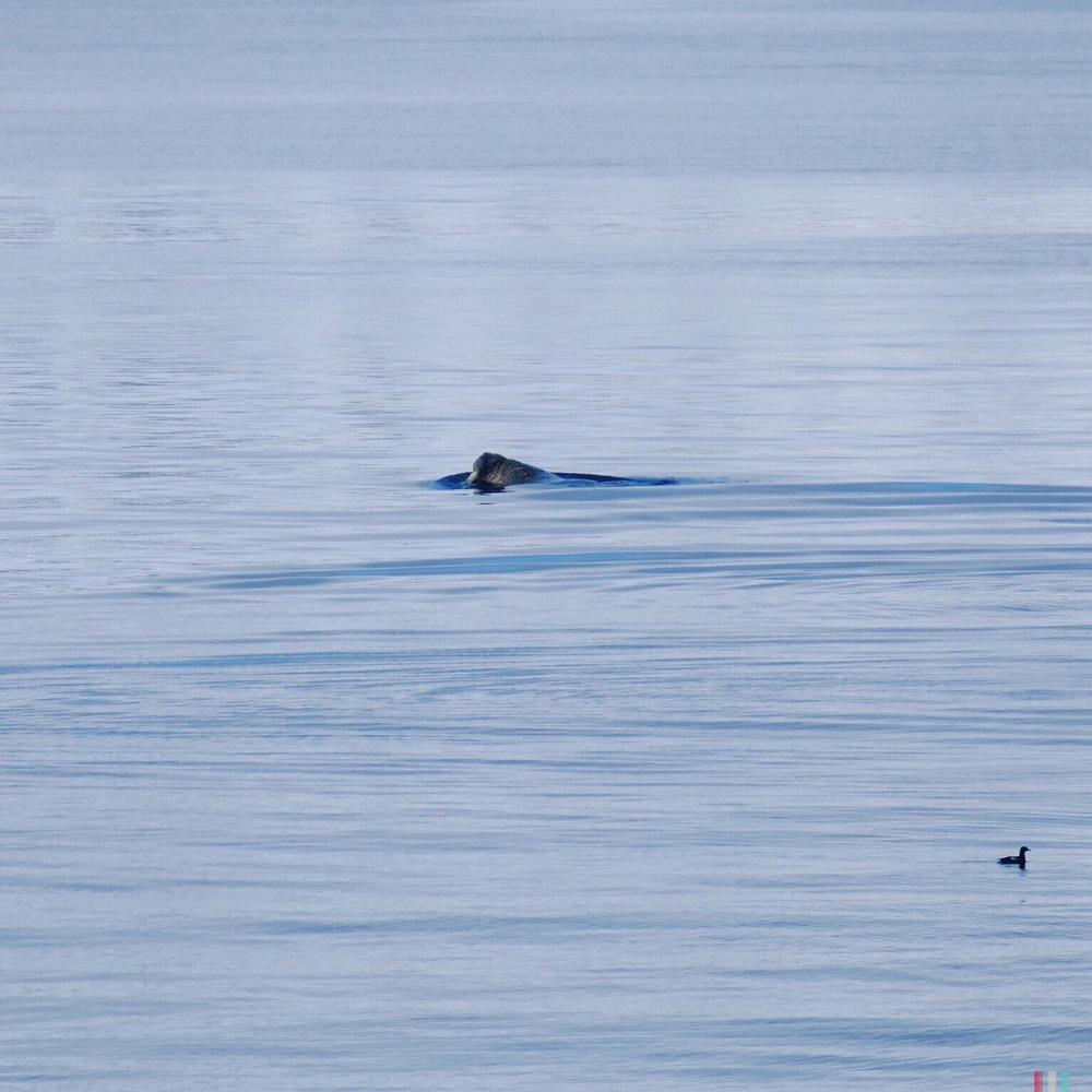 walross, spitzbergen