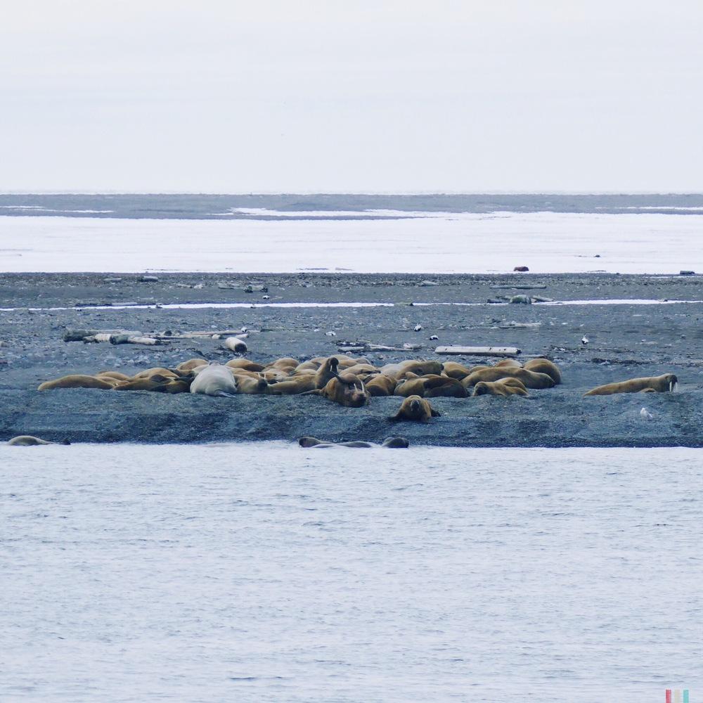 walrösser, spitzbergen