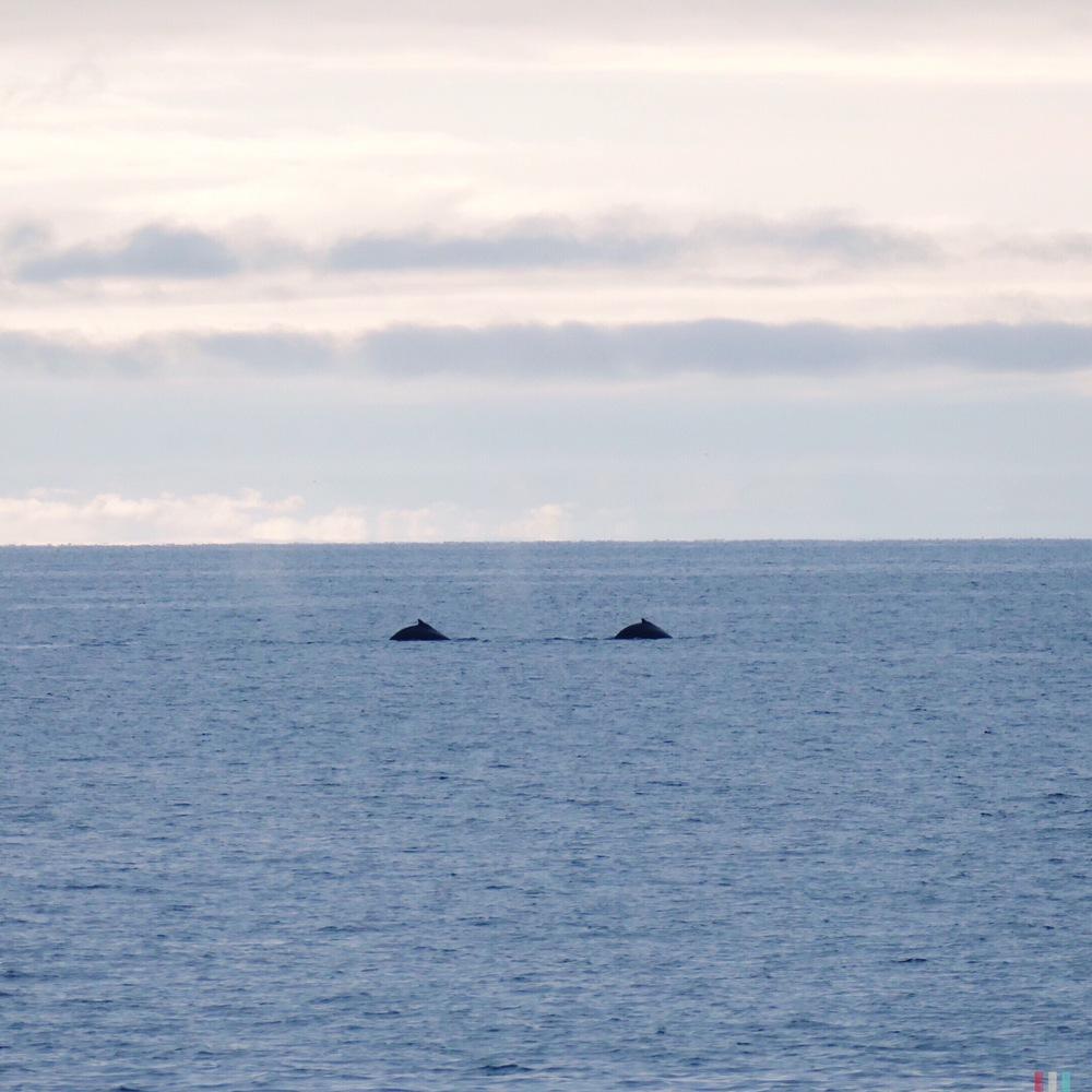 buckelwale, spitzbergen