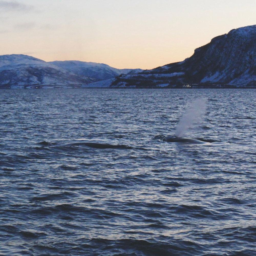 norwegen-wale-buckelwale-02.jpg