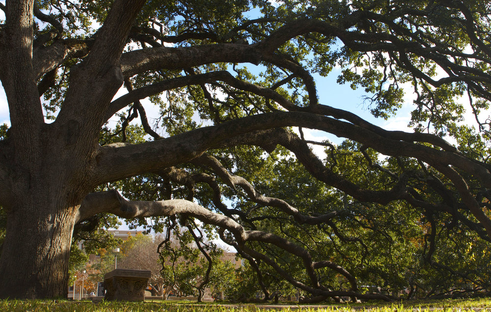 Photo courtesy of the Aggie Century Tree Project