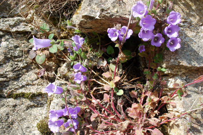 Ikaria flowers