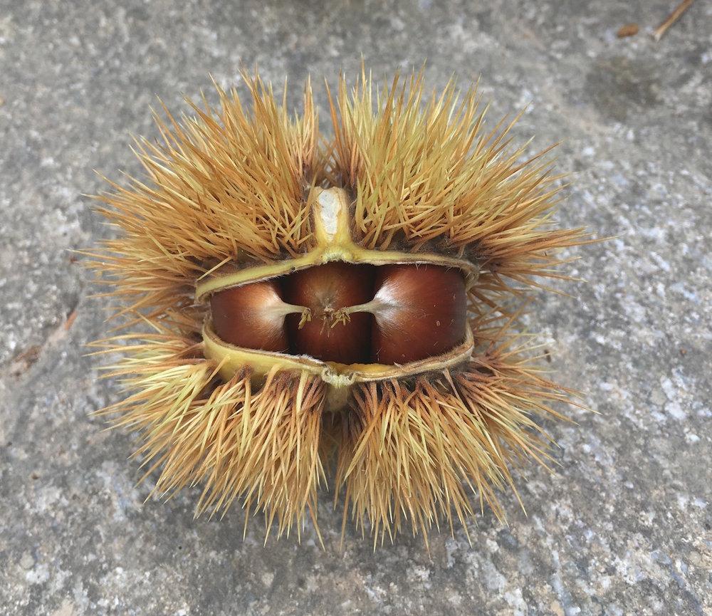 chestnuts1.jpg