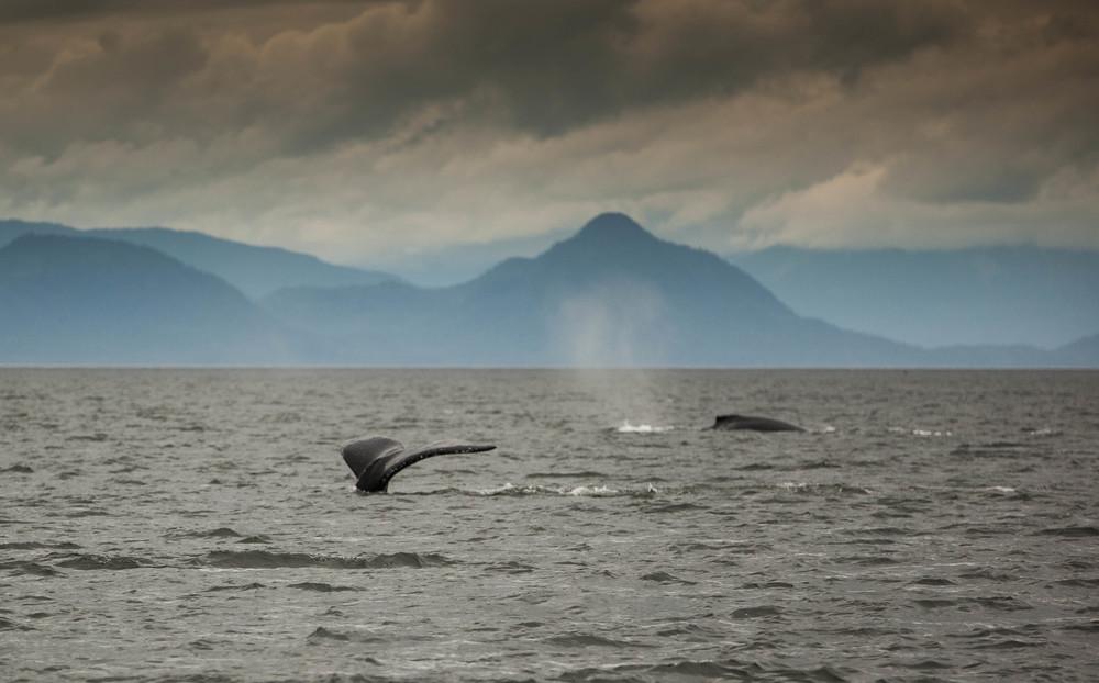 Humpback Whales, Frederick Sound, Alaska