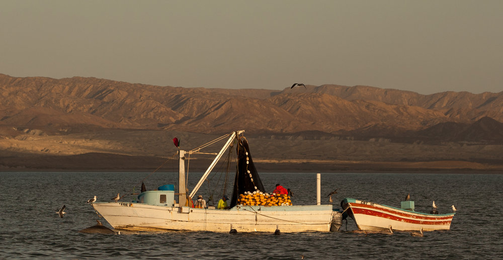 Sardine fishermen, with pelicans and a dolphin, in Bahia Tortuga, Baja, Mexico