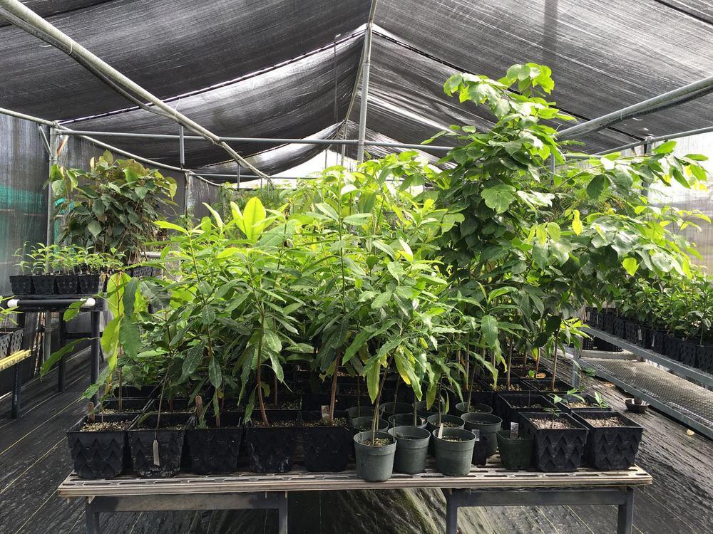 Bench containing Intsia bijuga, Elaeocarpus joga, Cerbera dilatata, and Neisosperma oppositifolia