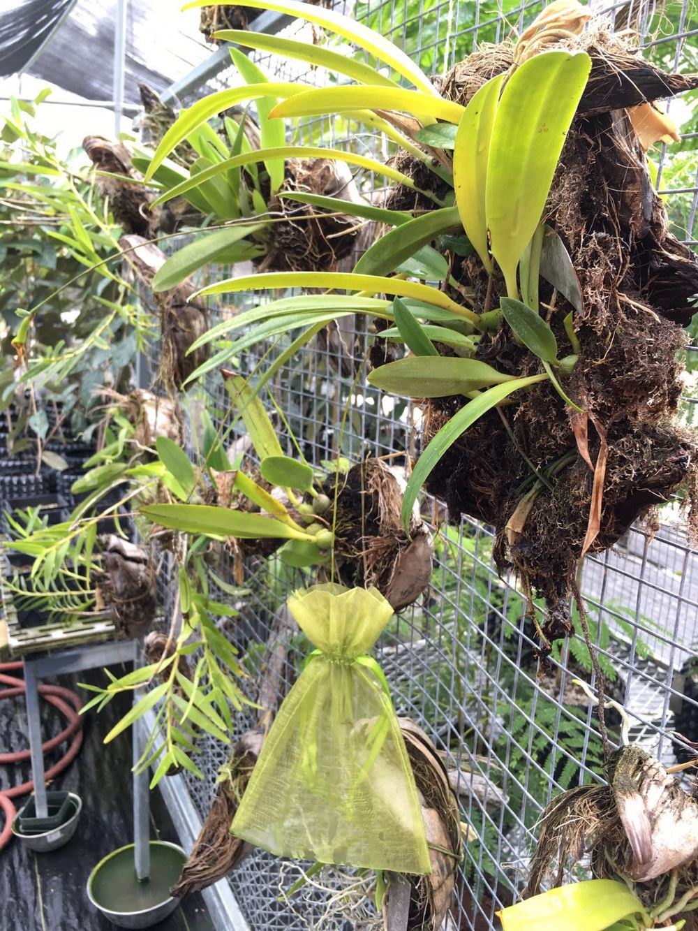 Bulbophyllum guamense  along with its seed pod being carefully monitored in the nursery