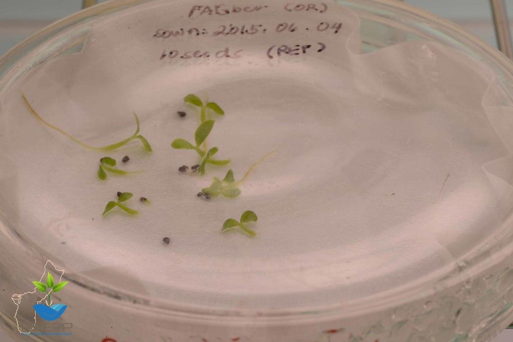 Fragraea berteriana var. ladronica seed viability test