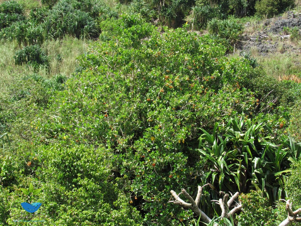 Fagraea berteriana  var. ladronica
