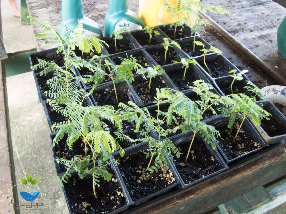A tray of  Osmoxylon mariannensis  and  S  erianthes nelsonii  seedlings at the Rota Forestry nursery.