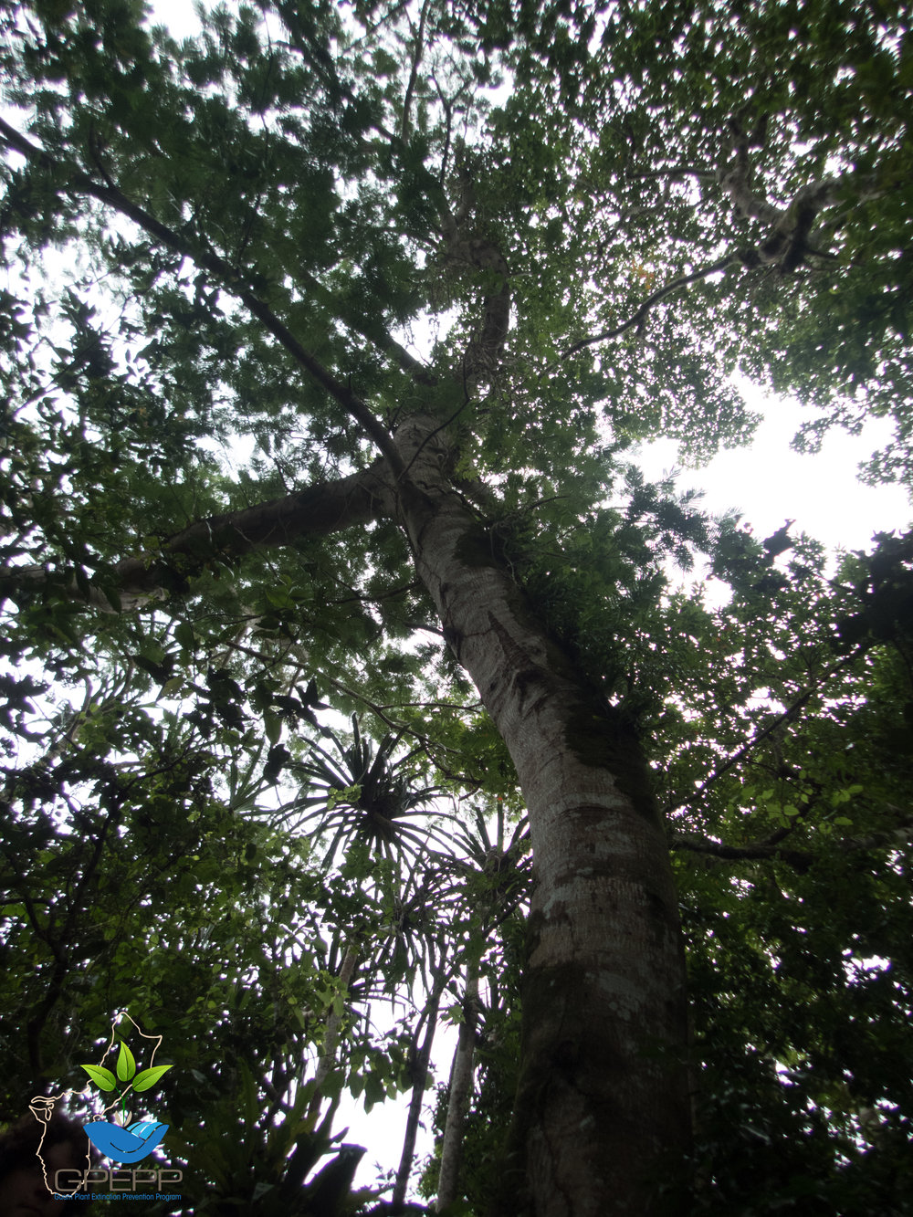Looking into the canopy of a  Serianthes.