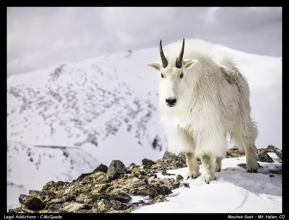 mountain+goat+-+mt+helen-20141535.jpg