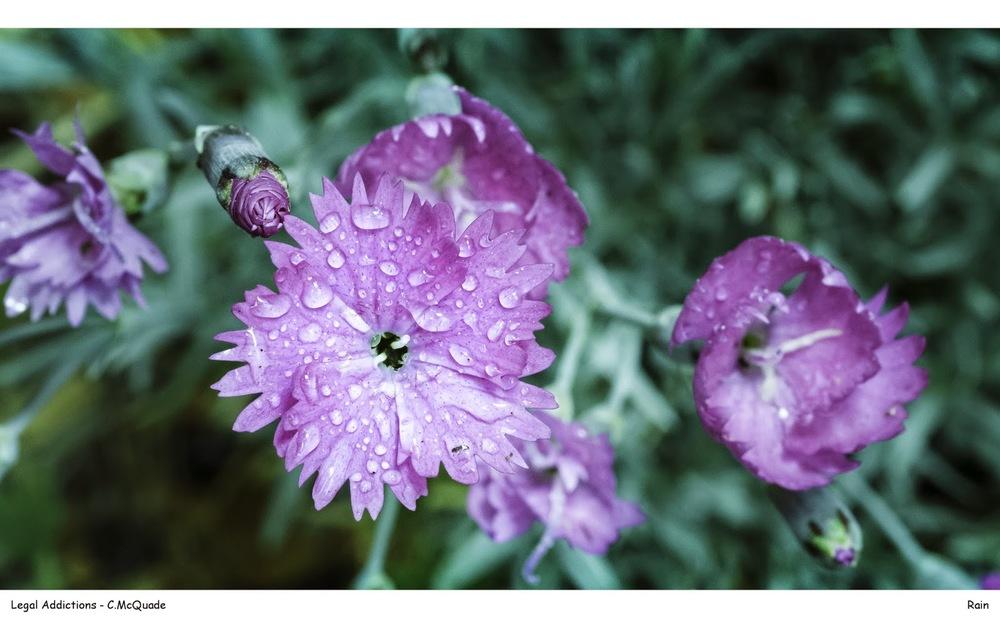 rain+on+flower-20142988.jpg
