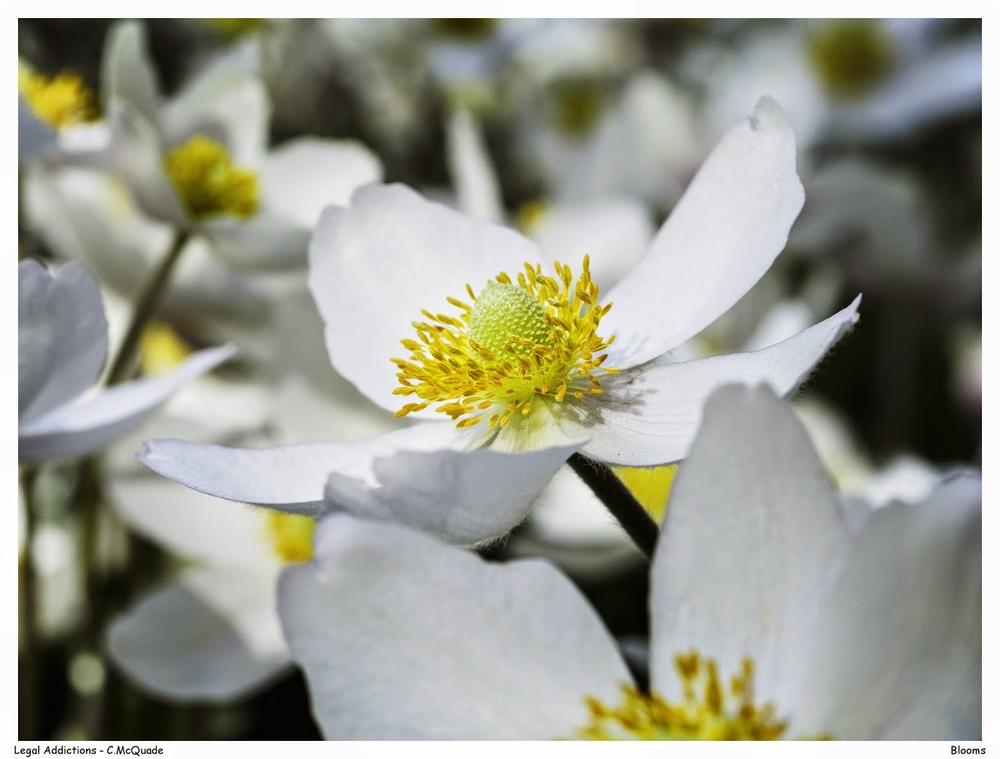 white+flowers-20142792.jpg
