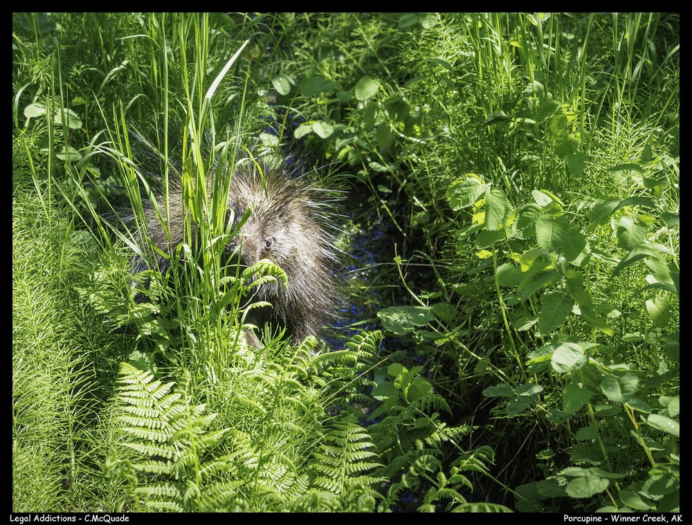 porcupine-20144062.jpg